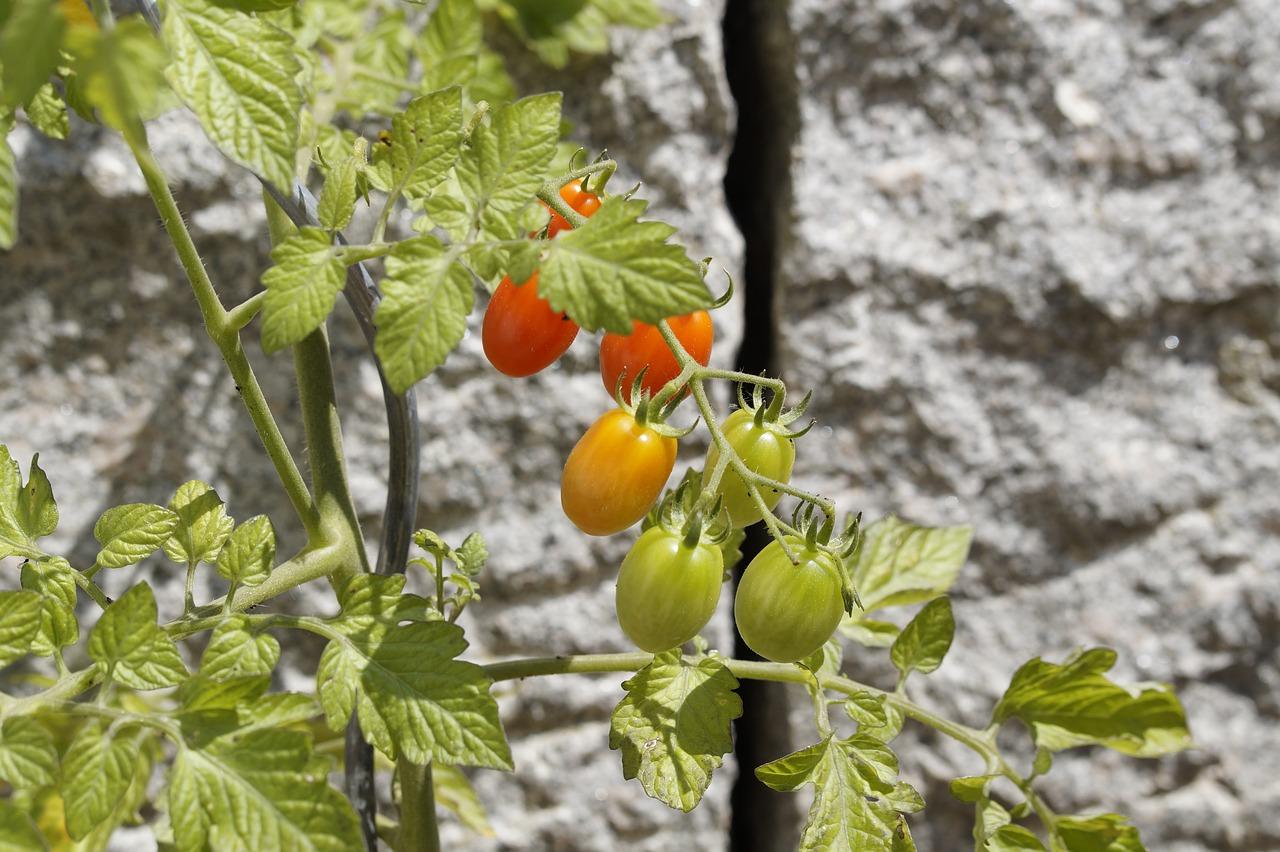 トマト 庭 庭師 野菜 家庭菜園 野菜栽培 トマトの工場 トマト栽培 食品 Redden