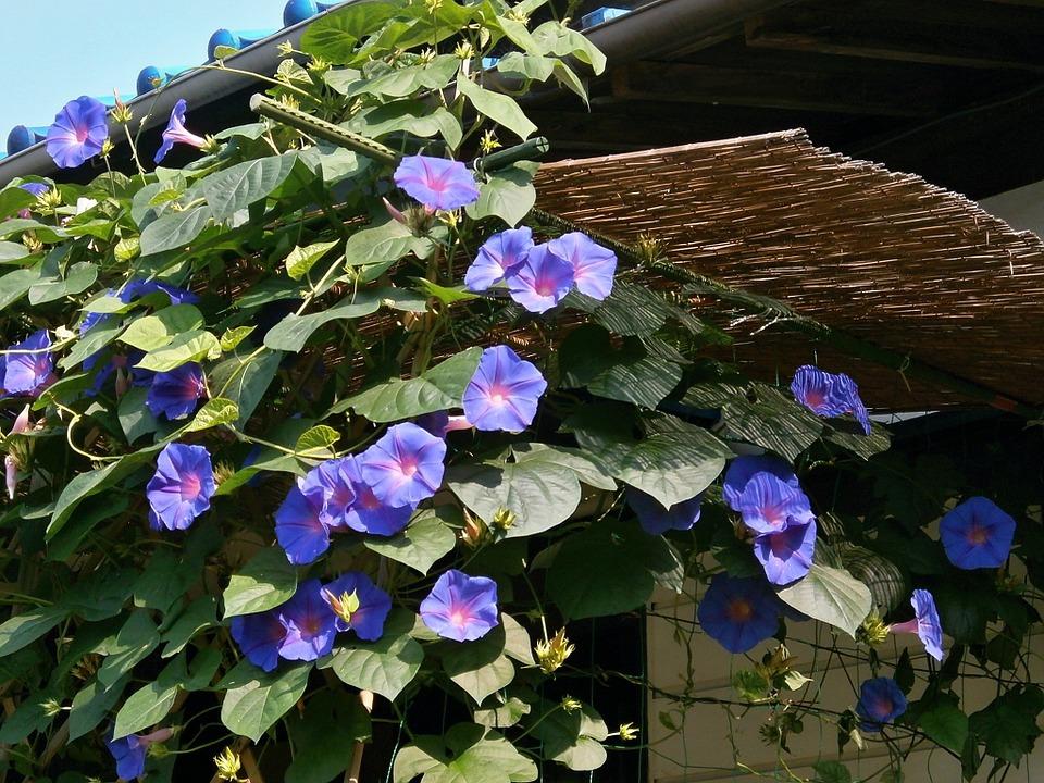 アサガオ 朝顔 青い花 夏の花 夏 晴天 日本の夏 民家