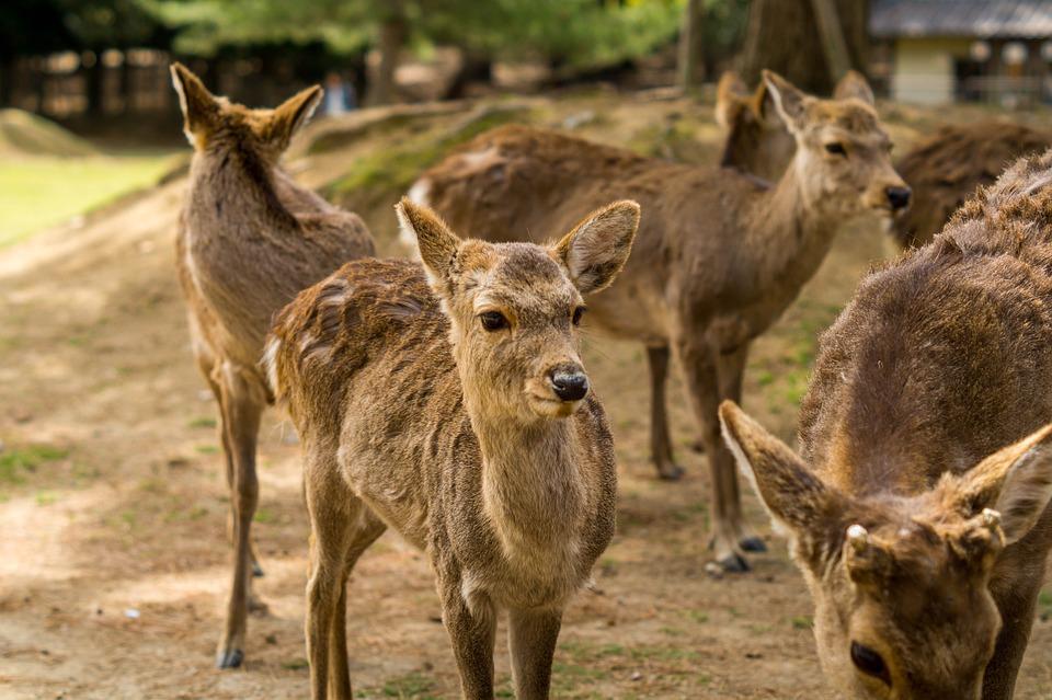 日本 奈良 公園 自然 鹿